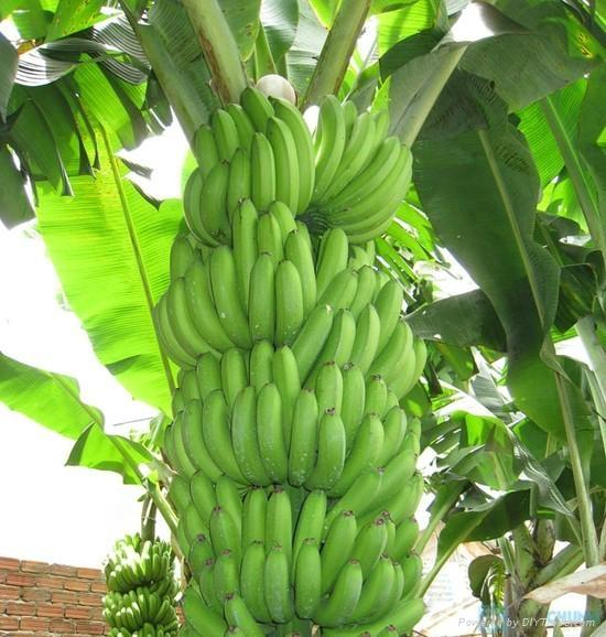 Cavendish Banana  1