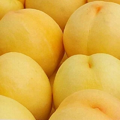 供应桃树苗新品种黄桃树苗批发