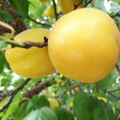 杏树苗品种香蜜杏苗批发