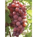 Grape Seed Extract 4
