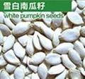 pumpkin seed 1
