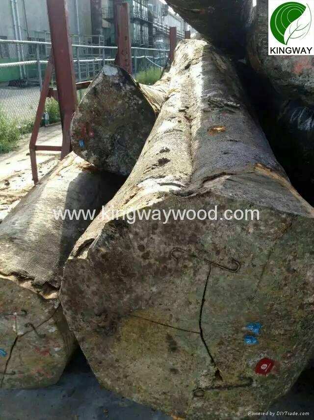 供应优质FSC欧洲榉木原木锯材级 5