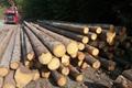 金威欧洲云杉原木 3