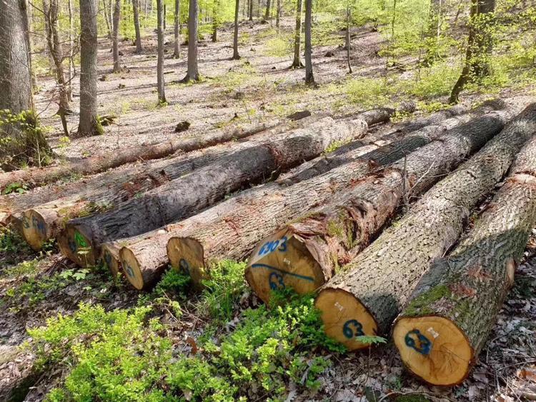 欧洲白橡木原木 1