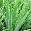 Top Quality Aloe Vera Dry Extract 1