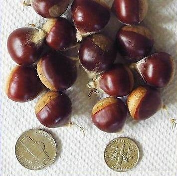 Chestnuts for Sale 1