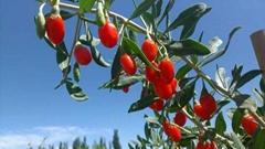 sell new crop goji berry, ningxia goji berry
