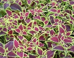 COLEUS FORSKOHLII EXTRACT ( FORSKOLIN 10-95% ) -Weight Management