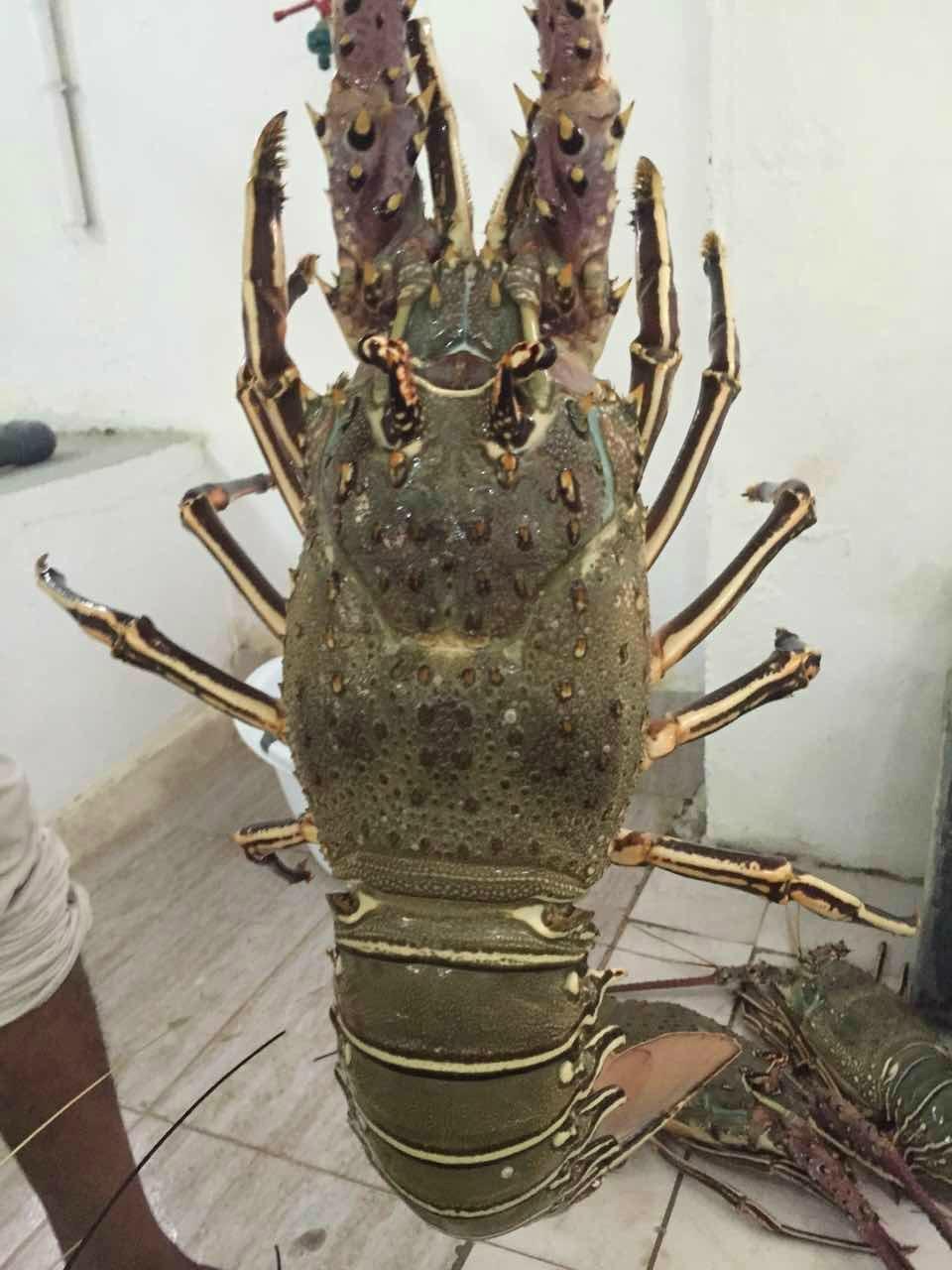 Wild sea dragon live shrimp oil supply (China Trading Company