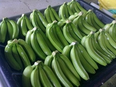 FRESH CAVENDISH BANANA FOR SELL