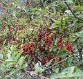 Certified Organic Schisandra chinensis