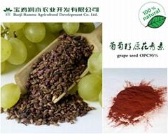 葡萄籽提取物 原花青素 OPC95%