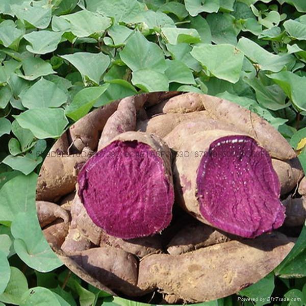 紫薯粉 1