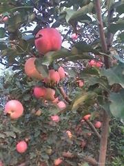 陕西高山红富士苹果