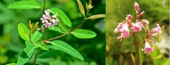 Luo Bu Ma tea Blood Pressure Herb Tea Apocynum venetum tea