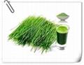 benefits of barley grass powder Barley