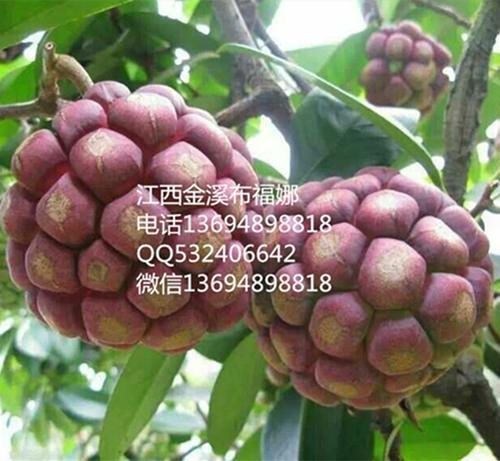 布福娜黑老虎種子 1