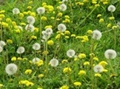 Best selling Good quality Dandelion