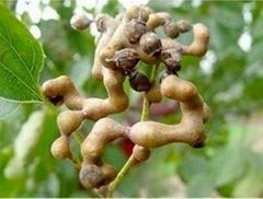 天然植物提取物 解酒消濕 枳椇子提取物 10:1