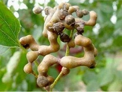 High quality Japanese Raisin Tree Seed Extract