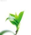 优质原料 绿茶提取物