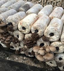 供应天凤平茹菌种菌包
