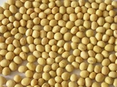 High Quality Yellow Soybean