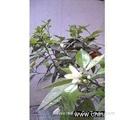 Neroli Flower Oil