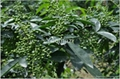Chinese Seasoning Sichuan Peppercorn Oil 3