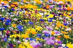 野花組合種子