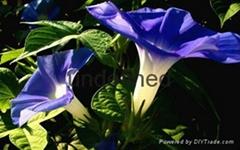 供应LVXIN牌一二年生花卉种子牵牛花种子