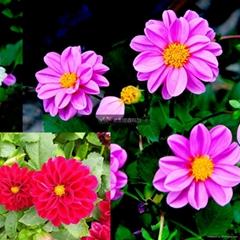 小麗花種子