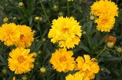 供应LVXIN牌矮生重瓣金鸡菊花卉种子