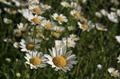 供應LVXIN牌白晶菊花卉種子