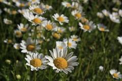 供應  XIN牌白晶菊花卉種子