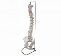 自然大脊椎模型 WCY-105