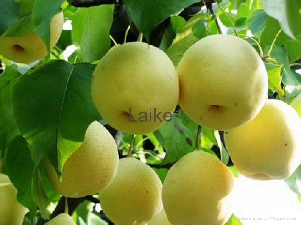 Golden Pear 1