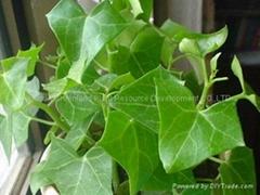 Top Quality Natural Skin Care Ivy Leaf
