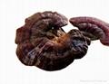100% Natural Reishi Mushroom Extract