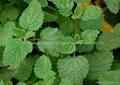 Hot selling Natural Lemon Balm Extract