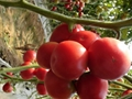 銀月亮硬粉番茄HL218 3