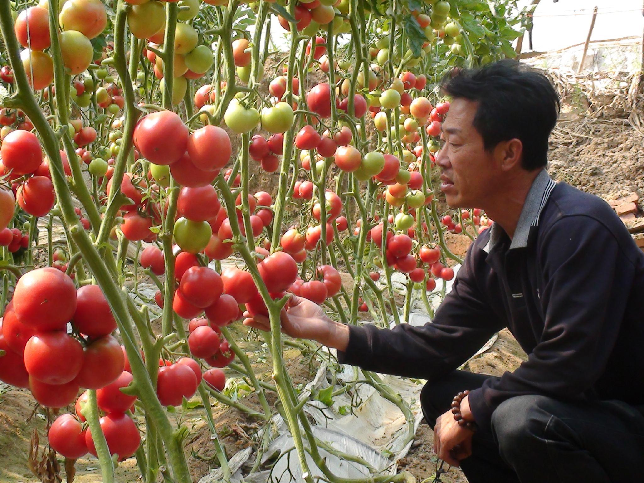 銀月亮硬粉番茄HL218 4