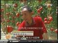 銀月亮硬粉番茄HL218 5