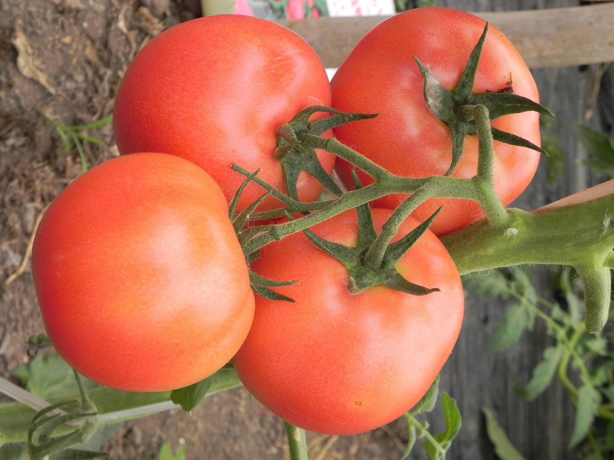 HL118番茄 2