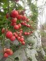 HL118番茄 3