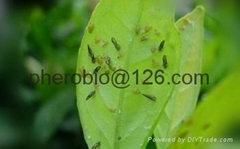 insect  Pheromone lure of Diaphorina citri and trap set