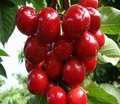 西藏樱桃苗品种