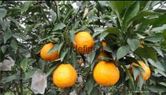 西藏砂糖橘苗價格
