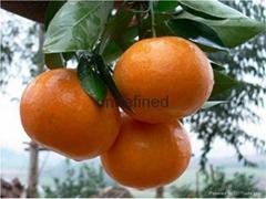 貴州砂糖橘苗