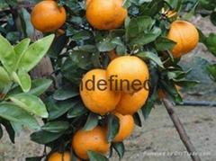 福建砂糖橘苗种植技术